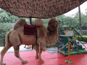 Camel ride at the zoo?  Sure!